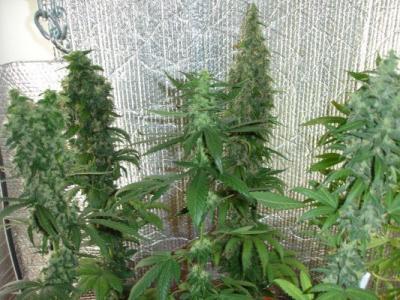 i le jardin int 233 rieur comment faire pousser du cannabis